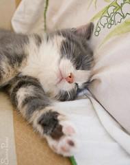 20090615_9999_168b (Fantasyfan.) Tags: sleeping pet cute animal topv111 out paw eyes furry topv333 kitten closed fluffy pillow sofa tired fantasyfanin streched mätäpaise