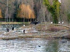 Bird meeting (Lottie's pets & stuff) Tags: park light sunset wild lake bird water beautiful birds forest duck seagull group cormorant
