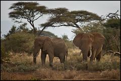weggefhrten (Der_Trogi) Tags: africa kenya sonyalpha850 amboselinp