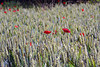 THE POPPY FIELD (DESPITE STRAIGHT LINES) Tags: england kent nikon poppy poppyfield poppiesfield farningham d700 ilobsterit