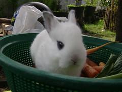 [Rabbits] Tralala... (holyrabbit) Tags: konijn conejo coelho lapin kaninchen coniglio arnab    conill    kelinci  ternakuangbersamakelinci faizmanshur kelincidomestik bukukelinci