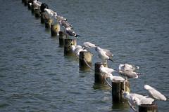 (quashlo) Tags: pond fukuoka larusridibundus blackheadedgull   greatcormorant phalacrocoraxcarbo   commongull ohoripark laruscanus     fukuokacity   chuoward