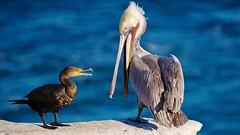 Cormorant and Pelican (Insu Nuzzi) Tags: cormorant nature pelican sandiegocalifornia shorebirds wildlife