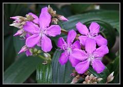 Mauve Tibouchina Flowers-1=