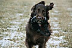 Retrieving (Flat Coat Whimsy) Tags: dog brown outside movement whimsy running retriever liver flatcoatedretriever
