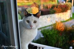 miau (LaraAraujo) Tags: pet naturaleza cats nature animal cat january enero galicia gato mascotas nikond3100 laraaraujo