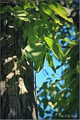 Te contemplo por última vez (Art.Mary) Tags: naturaleza tree nature canon walnut árbol arbre nogal noyer