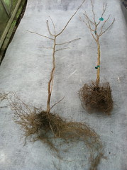 hazelnut root growth auger vs shovel (growing hazelnuts) Tags: farming treeroots hazelnuts hazelnuttree plantingtrees nurserystock yearlingtree