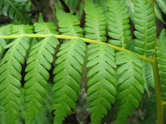 Tree fern (hobbes266) Tags: fern tree nature canon papua
