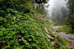 Rhododendron forests shrouded in mist (Michał Olszewski) Tags: nepal mist clouds forest asia land himalayas acap tropicalforest gandaki kaski annapurnaconservationarea geographicalfeatures annapurnaconservationareaproject