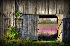 Spring in Kentucky (LarryHB) Tags: flower barn rural landscape spring farm kentucky 2012 vetch