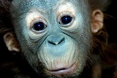 orangutan (floridapfe) Tags: baby face animal zoo nikon expression korea orangutan ape everland