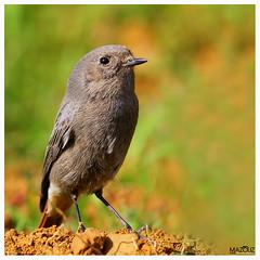"Phoenicurus ochruros - Black Redstart    Rougequeue noir (aziouezmazouz) Tags: bird bokeh bellissima naturesfinest vibrantcolours beautifulcapture ""flickraward"" ""flickraward5"""