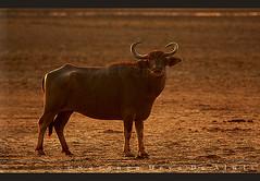 Wild Buffalo  at Dawn (Sara-D) Tags: wild nature water animals forest dawn nationalpark buffalo asia wildlife sl sri lanka srilanka ceylon lk bovidae kula wildanimals southasia sarad bubalus wildbuffalo bubalusbubalis saranga kumana bubalis sarangadevadealwis kumananationalpark sarangadeva