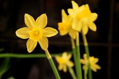 YELLOWFLOWER (Skyfallphoto Galleries) Tags: flower star yellowflower bee starflower niceflower blackandyellow flowerofthebee