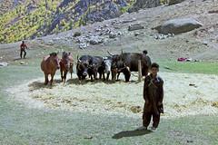 Harvest time on the way to the Deosai plateau, Pakistan (Miche & Jon Rousell) Tags: school pakistan boys children cows harvest straw karakoram kkh hay himalaya hindukushrange karakoramhighway karakoramrange tarashing deosaiplateau