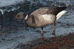 Brant #2 - Brent Goose in one of the local ports.
