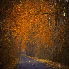 road of gold - EXPLORE #1 - 01/02/12 (ildikoneer) Tags: road autumn trees shadow fall nature leaves forest truck landscape golden leaf hungary path felcst