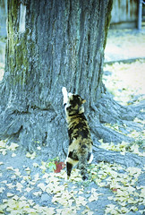 Cat :) (yocca) Tags: autumn film leaves yellow cat temple 50mm leaf ginkgo nikon kyoto kodak f14 kitty f3 nikkor   2011 gc400 gold400 dec2011