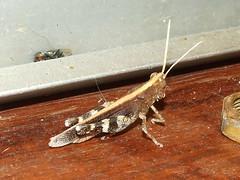 Acrididae Grasshopper DSCF6843 (Bill & Mark Bell) Tags: exmouth westernaustralia australia geo:town=exmouth geo:state=westernaustralia geo:country=australia geo:lon=11425453egeolat2217752sgeoalt8m 11425453e2217752salt8m taxonomy:kingdom=animalia animalia taxonomy:phylum=arthropoda arthropoda taxonomy:class=insecta insecta taxonomy:superorder=orthopterida orthopterida panorthoptera taxonomy:order=orthoptera orthoptera taxonomy:family=acrididae acrididae animal fauna grasshopper