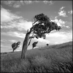 The Tormentors (Seriously People) Tags: trees fuji hasselblad nz acros lc29 ilfotec 60mmcf