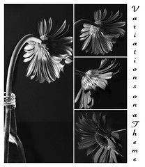 Variations on a Theme (lclower19) Tags: bw 50mm nikon mosaic gerbera daisy tamron 90mm lowkey d90 ourdailychallenge beyondlayers