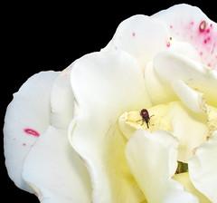 Rose and Weevil in East Garden, Ladd's Addition (sandy richard) Tags: flowers usa oregon portland unitedstates sandyrichard sandrarichard