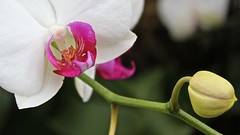 Princess of Wales Conservatory: orchid zones (Su--May) Tags: kewgardens whattoseeinlondon princessofwalesconservatoryorchidzones