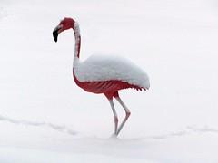 White Flamingo (Stuart Axe) Tags: maldon winter essex uk england snow ice weather snowstorm storm blizzard winterstorm white cold bigfreeze thebigfreeze frost greatbritain unitedkingdom flamingo heybridgebasin countyofessex gb blackwater riverblackwater riverblackwaterestuary