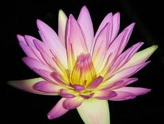 (Cher12861 (Cheryl Kelly on ipernity)) Tags: pink flower nature water beauty glow lily pad chicagobotanicgarden yellowcenter glencoeillinois hennysgardens