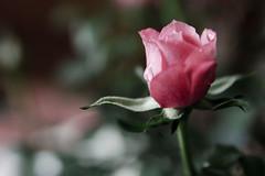 Rose (Jay Pasion) Tags: flower rose nikon dof bokeh tamron287528 d7000 jaypasion