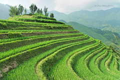 Dragon Backbone Rice Terraces (), Gungx, China (Loco Moco Photos) Tags: china dragon rice guilin terraces backbone guangxi longsheng  terraced longji titian