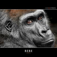 BEBE (Matthias Besant) Tags: animal animals mammal deutschland monkey tiere hessen gorilla ape monkeys mammals apes fell tier affen primates silverback affe primat silberruecken hominidae primaten querformat saeugetier saeugetiere menschenaffen hominoidea trockennasenaffe menschenartige ringexcellence flickrstruereflection1 affenfell menschenartig affenblick highqualityanimals rememberthatmomentlevel1 matthiasbesantphotography matthiasbesant