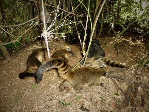 Bébés coatis, Chutes d'Iguazu, Argentine