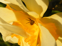 flat spider (rospix) Tags: uk flower macro nature yellow wales insect countryside spider daffodil april 2014 rospix