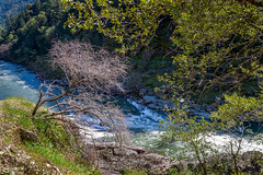 A lonesome tree begins to bud over the Rogue River (GeorgeOfTheGorge) Tags: oregon march baretrees rogueriver buddingtree lonesometree wildandscenicriver