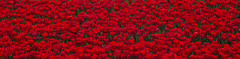 20140417-DSC_7060 (nikontino) Tags: flowers people dutch landscape tulip fields bulbs tulipa tulipe flowerarea