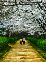 Kumamoto Castle Sakura, Japan 熊本城の桜