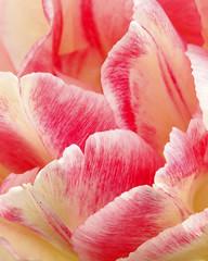 Raspberry Ripple (maureensc0tt) Tags: pink flower macro ripple petal raspberry hite