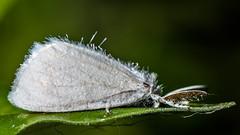 "Teeny white moth! - ""Explored"" (chandra.nitin) Tags: india macro nature animal insect delhi id moth newdelhi deerpark whitefuzzymoth"