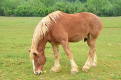 Belgian horse at the Biltmore Estate (stevelamb007) Tags: horse nikon asheville belgian biltmore stevelamb d7200