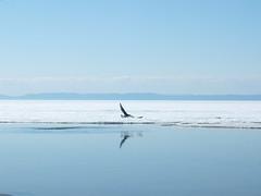 A hunting seagull over Baykal lake (dmitry_kotenev) Tags: lake baykal meer lago landscape seagull