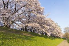 2016 Spring Season Tour Of Kyoto (caz76KOBE) Tags: nature beautiful japan canon landscape eos spring kyoto  cherryblossom cherryblossoms 24mm yawata  landscapephotography beautifulearth eflens sewaritei eos6d canonprimelens ef24mm  ef24mmf14liiusm ef24mmf14lusm 2016spring 2016kyoto 2016caz76