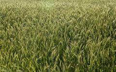 is de bl (asgharjamali_baloch) Tags: france culture vert agriculture campagne champ plantes bl pis agricole crales cultivateur cralier champsdebl is cles clier
