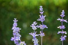 Every summer has a story (oshnaswami) Tags: purple pastel lavender lilac dreamy brokeh