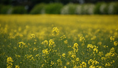 Field of Yellow (delluisa123) Tags: flowers green nature yellow nikon blossom bokeh rapeseed 55300mm d3300