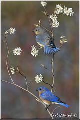 More Bluebirds (Earl Reinink) Tags: blue ontario bird nikon niagara earl bluebird birdphotography nikond5 easterbluebird earlreinink reinink eriadaodra