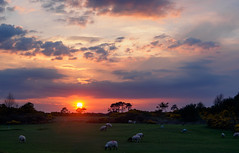 Sheep On The Curragh At Sunset 2016 (kckelleher11) Tags: ireland sunset sheep may olympus omd kildare 2016 1250mm em5