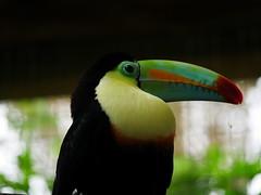 P1130573 (lychee_vanilla) Tags: bird animal garden toucan costarica lapaz tier waterfallgarden keelbilledtoucan ramphastossulfuratus tucn vigel tucnpicoiris