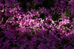 The pink phlox (dididumm) Tags: pink sea sunshine spring meer frhling sonnenschein creepingphlox phloxsubulata polsterphlox mossphlox flammenblume mountainphlox teppichphlox burgfrieden